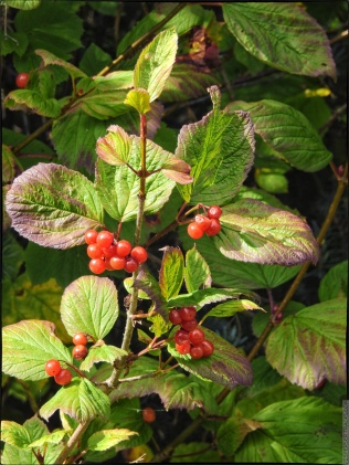 Possibly deadly Alaskan Berries plant . . . with nice leaves.
