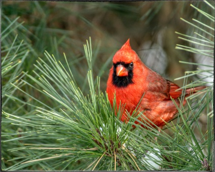 0010-male-cardinal-evergreen-sharpen-stabilize_AU-PP