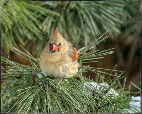 0016-female-cardinal-evergreen-sharpen-stabilize_AU-PP