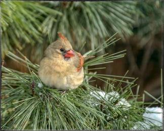 0019-pretty-lady-cardinal-sharpen-stabilize_AU-PP