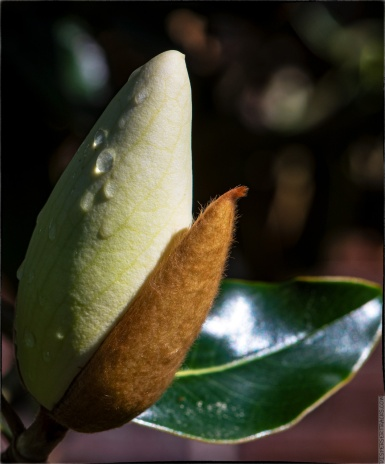 """What's that?"" — No. 2 — Magnolia tree bud"