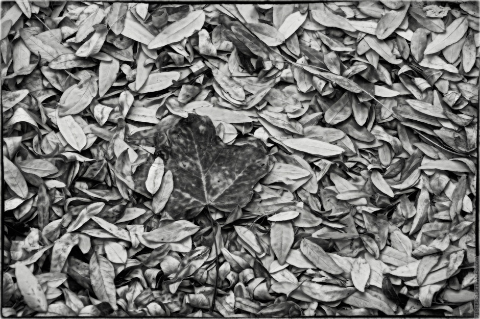 Fall Leaves in monochrome with a bit of glow