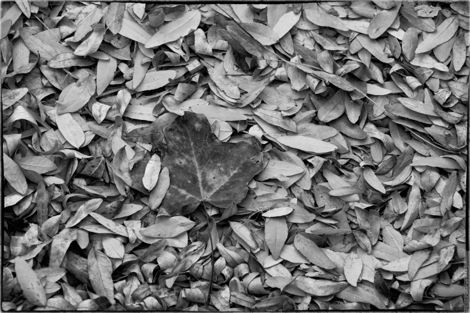 Fall leaves in monochrome