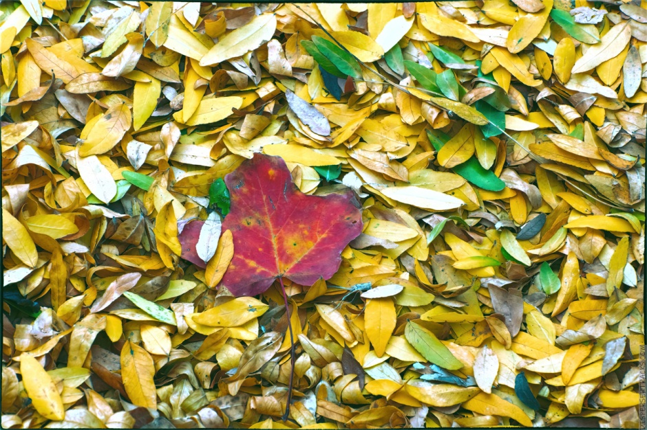 Fall leaves restyled to different colors