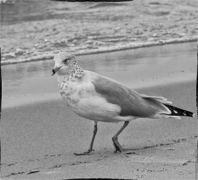 Seagull walking along the beach (monochrome)