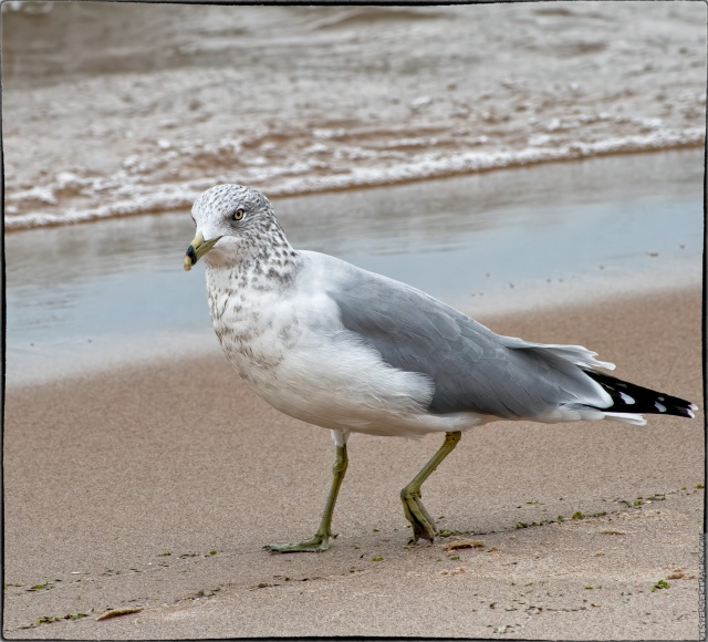 Seagull walking along the beach
