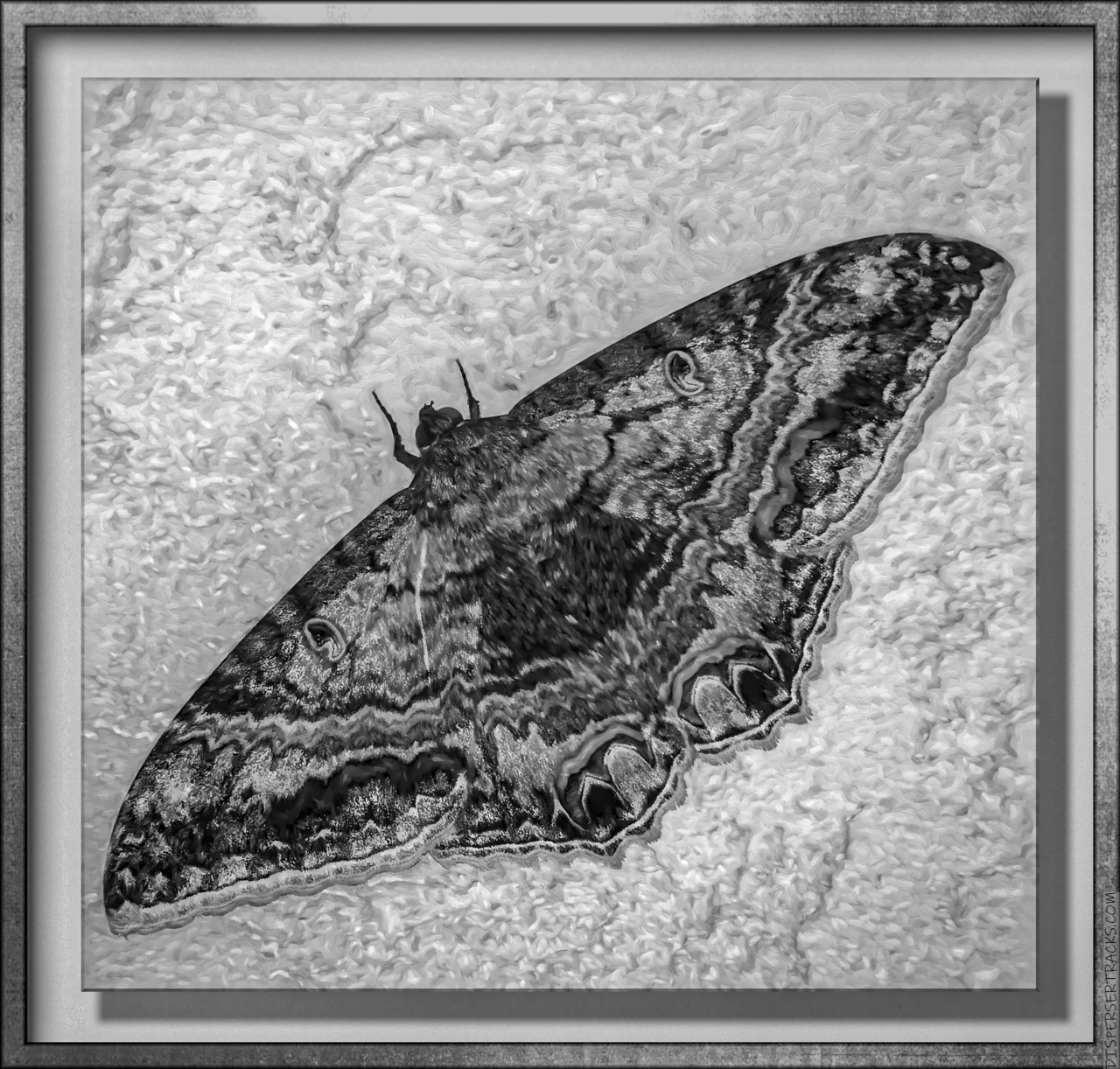 monochrome big moth