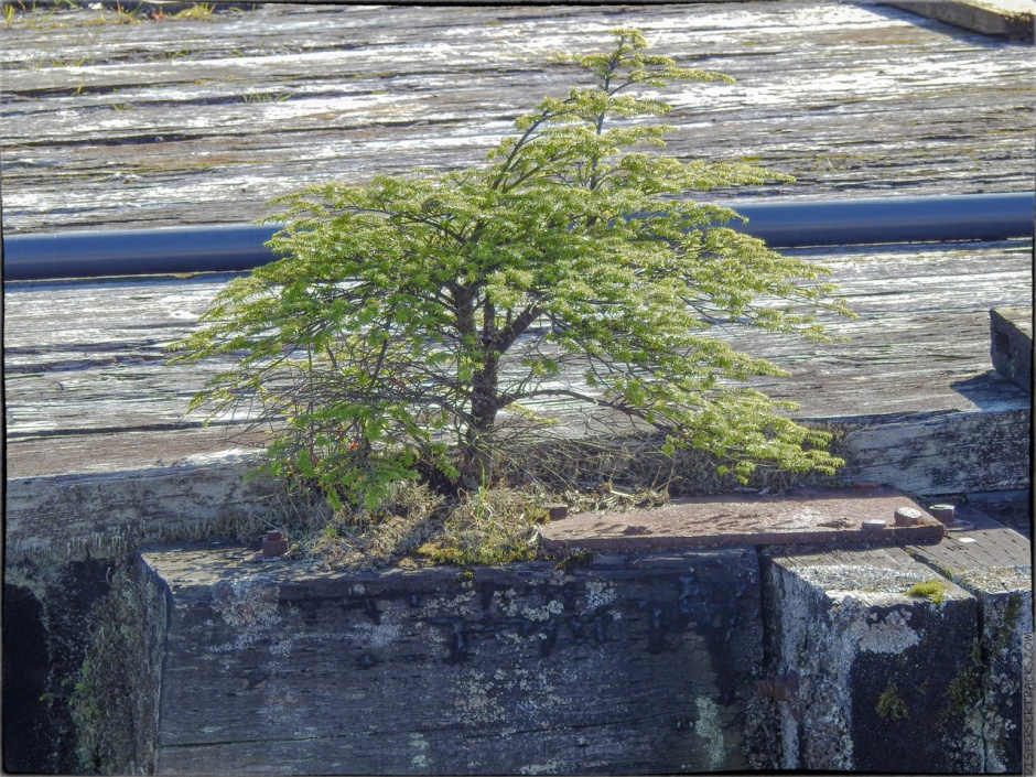A small evergreen tree growing in the cracks of the seafront boardwalk