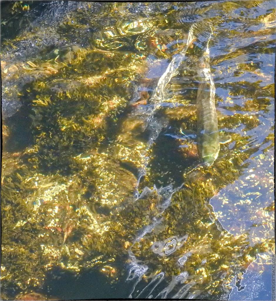 salmon swimming in Ketchikan creek