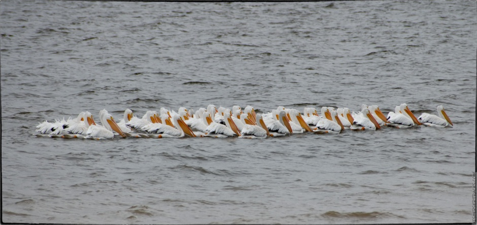 pelicans swimming in tight formation
