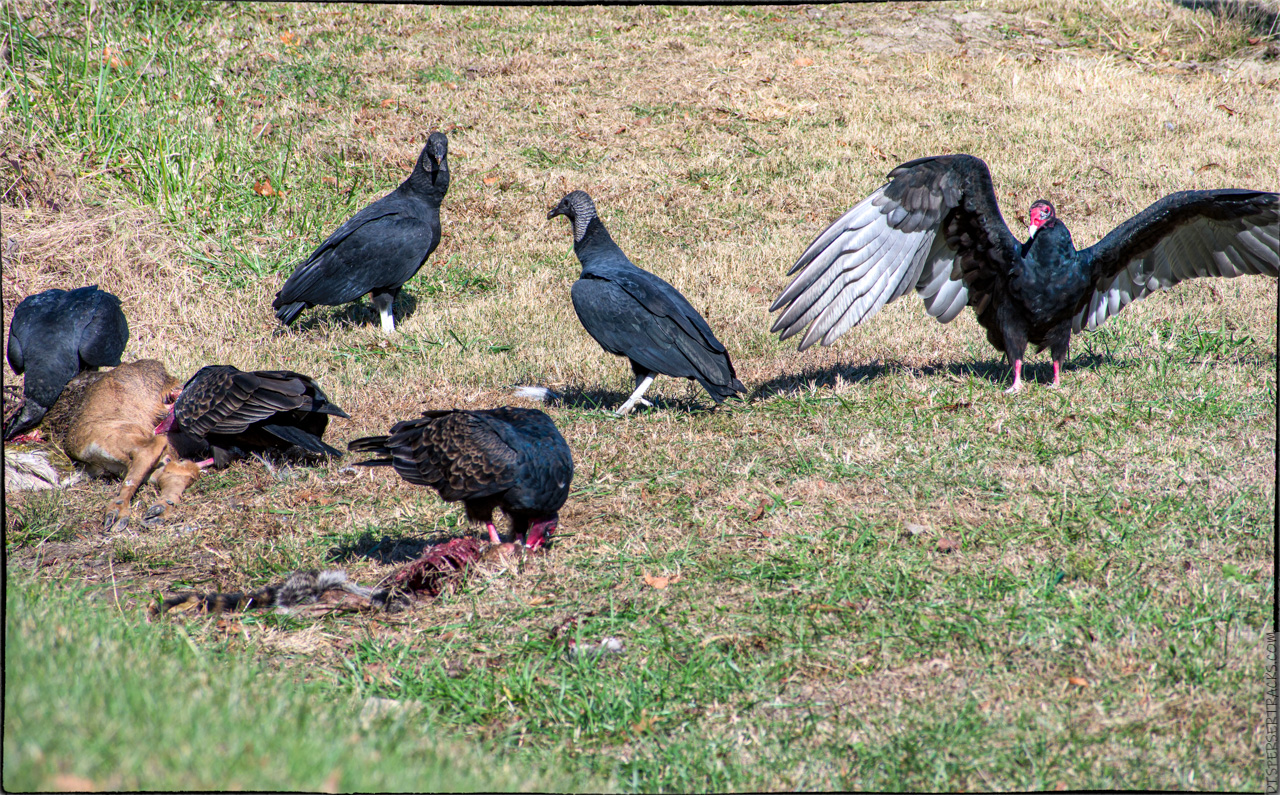 Vultures feasting on a deer carcass
