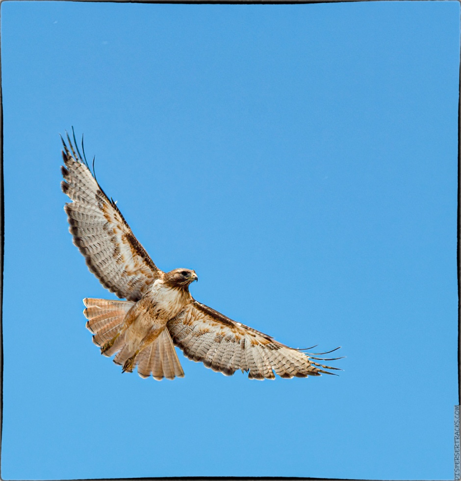 Hawk taking flight in color