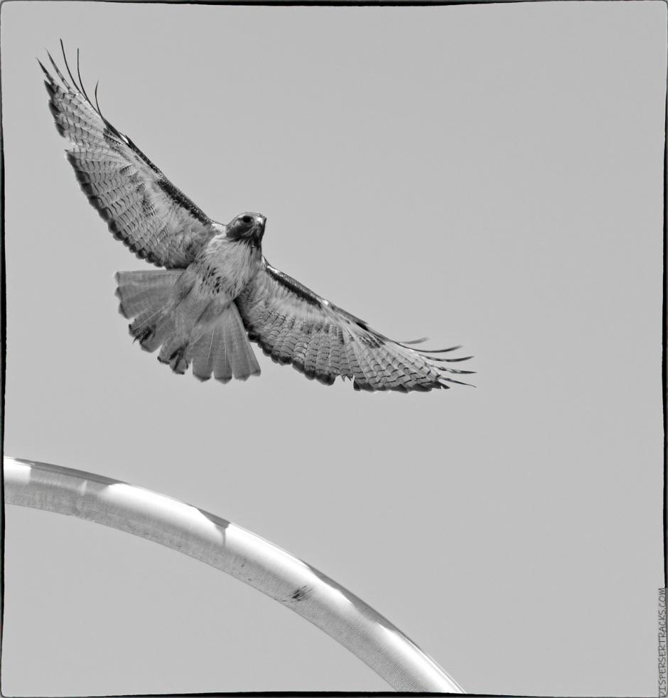 hawk taking flight in monochrome
