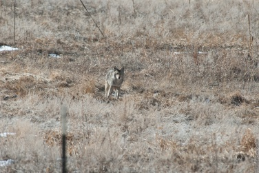 Coyote in a field shot with Nikon D200 and Nikon 80-400mm VR lens